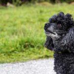 シニア犬の黒プードル