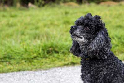 シニア犬の健康管理-お散歩