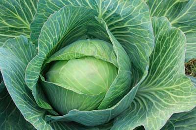 便秘に良い野菜-キャベツ