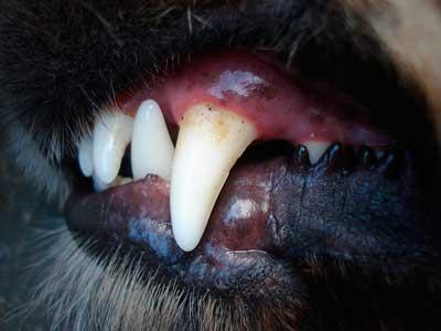犬のデンタルケアイメージ