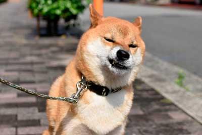散歩嫌いの犬
