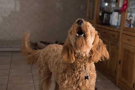 ストレスが犬の白髪の原因に