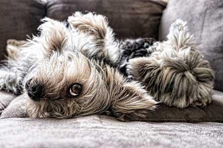 退屈な犬は体を舐める