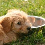 高齢犬(老犬)の水分補給対策