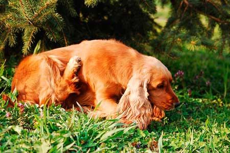 犬の食品アレルギーによる体の痒み