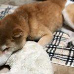 高齢犬の床ずれ予防におすすめのマットレス