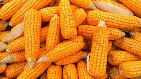 穀類が多いロイヤルカナン