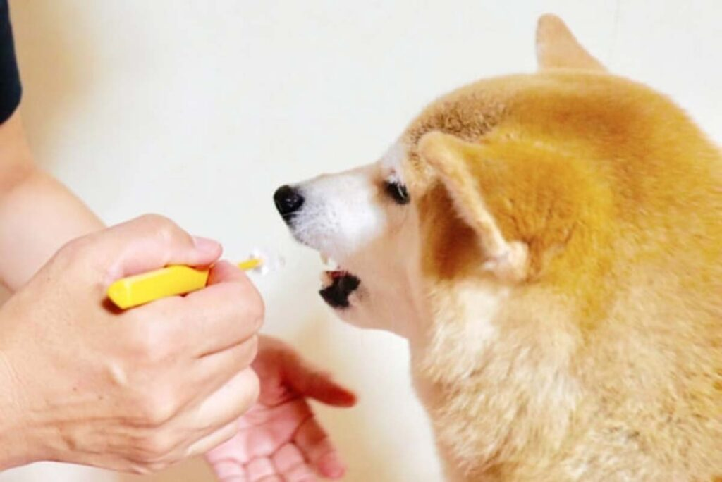 歯磨きを嫌がる柴犬